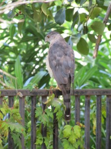 Cooper Hawk on the Back Fence